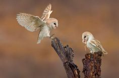 Barnowls by ploviekevin - Image of the Year Photo Contest 2016