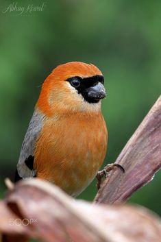 Red-headed bullfinch