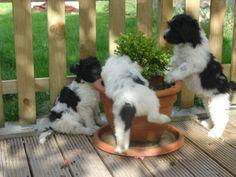 schapendoes dog photo | schapendoes puppies12 naar schapendoes website