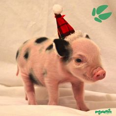 Baby micro pig at Petpiggies wearing Santa Hat for Christmas We hope you enjoy the seasonal pictures. Please share with friends & family. www.petpiggies.co.uk #minipig #micropig #teacuppig #babypig