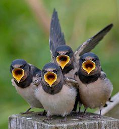 Gepind vanaf vroegevogels.vara.nl - Boeren Zwaluw