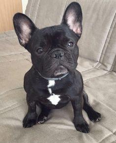 French bulldog adult