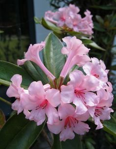 rhododendron applique - Google Search