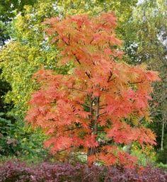 """Sorbus """"Dodong"""", Tuurenpihlaja Climbers, Trees To Plant, Shrubs, Plants, Tree Planting, Shrub, Plant, Planets"""