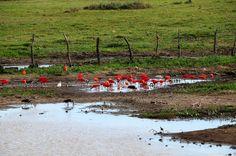 Escenas de los Llanos: Garzas (corocoras) cerca de San Juan de Payara, E. Apure, Venezuela | Flickr: Intercambio de fotos