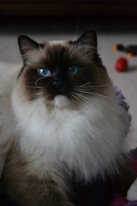 Kissykat Precious Gem Gorgeous Cats Ragdoll Kitten