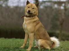 The Hokkaido (also Ainu dog) is another of the medium sized Japanese breeds. They are larger than the popular and smaller than the Spitz Type Dogs, Spitz Dogs, Japanese Dog Breeds, Japanese Dogs, Unique Dog Breeds, Rare Dog Breeds, Hokkaido Dog, Purebred Dogs, Wild Dogs