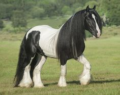 WR Cool Hand Luke Beautiful Horse Pictures, Beautiful Horses, Animals Beautiful, Big Horses, Pretty Horses, Cool Hand Luke, Giant Animals, Gypsy Horse, Majestic Horse