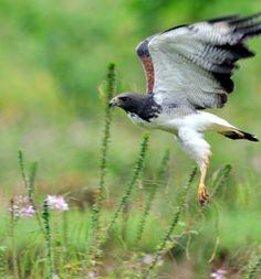 Foto gavião-de-rabo-branco (Geranoaetus albicaudatus) por Ricardo Gentil | Wiki Aves - A Enciclopédia das Aves do Brasil