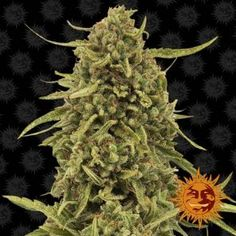 Acapulco is about as close to cannabis perfection as you can get; her cerebral and high loved Short Plants, Powdery Mildew, Weed Seeds, Harvest Time, Cannabis, The Cure, Remedies, Herbs, Flowers