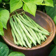 'Big Kahuna' Bush Bean