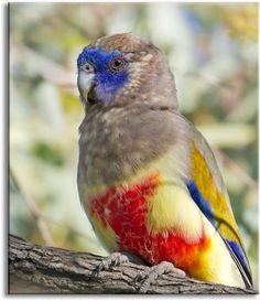 Blue Bonnet, an Australian parrot, by aaardvaark Tropical Birds, Exotic Birds, Colorful Birds, Pretty Birds, Love Birds, Beautiful Birds, Beautiful Places, Australian Parrots, Amazing Animals