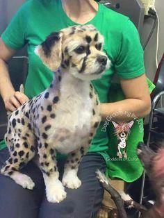 Repinned beautiful creative dog grooming creative dog grooming chettah dog solutioingenieria Gallery