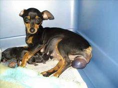 Nacimiento perros pinscher...