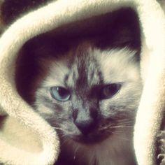 Friozinho, pode vir! ♡ #GatíssimosHor #Tonks #Frio #Gatos #Animais #Pets #Siamês #FrioCuritibano #Cold #Cats #Animals #Instacat #Catlovers #Siamese #Katze #Chat
