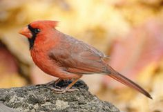 The cardinal, a red finch, is easily recognized among other birds. Cardinals also tend to stick around for all seasons so they are easy to spot year round. As a totem cardinals interject vitality or serve as a reminder whenever your vitality is lacking. You may also need to brighten up a drab wardrobe with some color. Cardinals will whistle loudly to alert danger, for this reason a cardinal sighting can also be a signal to be on alert for possible trouble.