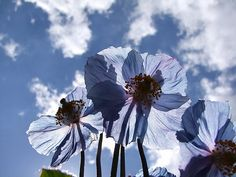 Blue sky touching blue sky!!   Blue poppies 01 by Nonlinearity, via Flickr