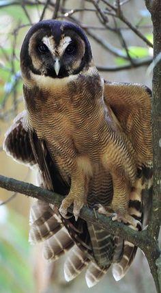 Brown Wood Owl (Strix Leptogrammica).