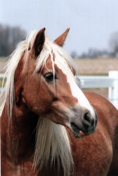 Halflinger horse - Now if my horse could have a mane more like this one.