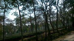 Tea gardens at Assam near Dibrugarh