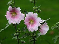Wien - Augarten - Blumen im Wind
