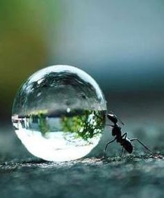 Ant pushing droplet of water....looks like he's holding up a mini-world