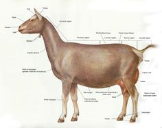 I hope this will be of some help to yall.   I love anatomy books and   I have this really great one on large animals.   I wanted to share s...
