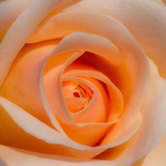 Orange rose my favorites