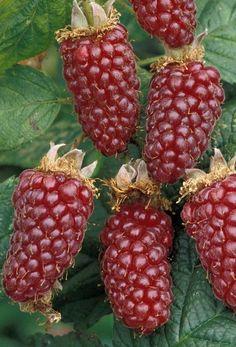 Frutas Tropicais #fruits #framboesa