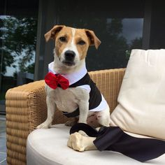 verjaardagsfeestje hond - verjaardag jack russell - hondenfeest - doggywood - VIP Boy Dog Clothes, Jack Russells, Labrador Retriever, Dogs, Animals, Labrador Retrievers, Animales, Animaux, Pet Dogs