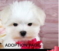 Teacup Puppies for sale dog Boutique for teacups, dogs for sale, Designer Dog Clothes and Teacup Yorkies Maltese Puppies For Sale, Tiny Puppies, Dogs For Sale, Chihuahua Puppies, Adorable Puppies, Maltese Dogs, Terrier Puppies, Pomeranian Puppy, Puppy Store