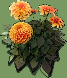 Dahlia pompoms 'Sylvia' Dahlia, Puzzle, Drawings, Plants, See Through, Photos, Puzzles, Riddles, Dahlias