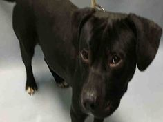 APOLLO - A1093605 - - Brooklyn  Please Share:TO BE DESTROYED 10/21/16: **AVAILABLE FOR PUBLIC ADOPTION ON THE ACC WEBSITE** Please Share:-  Click for info & Current Status: http://nycdogs.urgentpodr.org/apollo-a1093605/