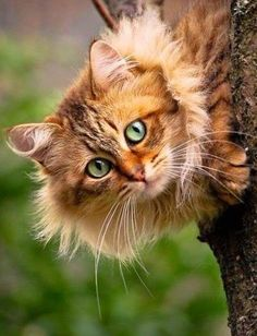 The Maine Coon Cat Breed: No breed has a monopoly on love and affection, but . so the coat doesn't mat as easily as the coats of some long haired breeds. Pretty Cats, Beautiful Cats, Animals Beautiful, Cute Animals, Pretty Kitty, Beautiful Couple, Cute Cats And Kittens, Cool Cats, Kittens Cutest