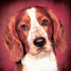 /'Puppy and the Cow/' Welsh Springer Spaniel Magnetic Calendar ~14 x 11 cm