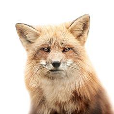 Fox portrait on white background by Morten Koldby Beautiful Creatures, Animals Beautiful, Cute Animals, Wild Animals, The Grisha Trilogy, Animal Faces, Pet Portraits, Animal Photography, Macro Photography
