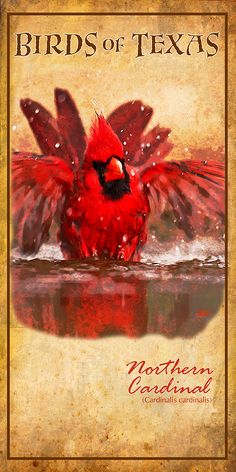 One of my very favorite birds the cardinal. TexasPoster.com
