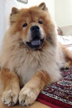 """The Chow Chow is a dog breed originally from northern China,where it is referred to as Songshi Quan,which means """"puffy-lion dog"""". Chow Chow Source by… Chow Dog Breed, Chow Chow Dogs, Dog Breeds, Puppy Chow, Cute Dogs And Puppies, Baby Puppies, Doggies, Lion Dog, Dog Cat"""
