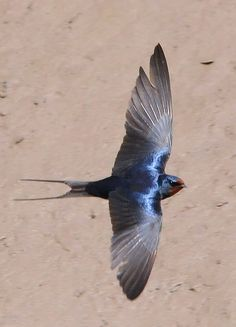 Swallow ,finally a pair have arrived today 11/5/17 ! had almost given up hope :)