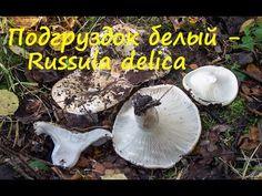 Подгруздок белый - ценный гриб! - YouTube
