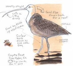 How to draw shorebirds: Step by Step - John Muir Laws