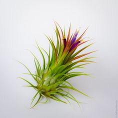 """Meet Ava, the Ionantha Fuego Air Plant. Ava has a column-shaped figure and layered, medium length bright green hair that grow upwards. Much like the rest of her Ionantha family, when she blooms, the top layers of her hair begin to turn spectacular shades of red and magenta and a beautiful purple and yellow flower emerges. Air Plant Worlds - Ionantha Fuego Air Plant - """"Ava"""", $5.00 (http://www.airplantworlds.com/ionantha-fuego-air-plant/)"""