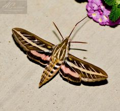 White-lined Sphinx Moth (Hyles lineata) - Butterflies and Moths of North America/collecting and sharing data about Lepidoptera Beautiful Bugs, Beautiful Butterflies, Hummingbird Moth, Gossamer Wings, Cool Bugs, Garden Bugs, Hawk Moth, Night Flowers, Butterfly Pictures