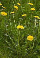 True Spring Tonic - Old-Time Dandelion Gravy Recipe