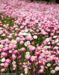 Pink everlastings provide a sea of colour during Wildflower season in Perth.