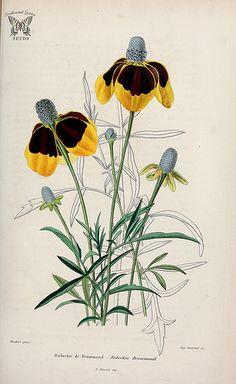 Rudbeckia drummondii. A wildflower related to Black-Eyed Susan, from the midwestern U.S. prairies. (1839-50)