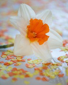 Verkrijgbaarheid & verzorging Narcis:   Narcissen zijn verkrijgbaar vanaf begin januari tot en met april. Narcissen houden – net als andere bloemen – van schoon water en een brandschone vaas. Bijzonder aan de Narcis is de afgifte van slijm, dat het vaasleven van andere bloemen kan verkorten. Dat probleem voorkom je door speciale snijbloemenvoeding voor Narcissen te gebruiken als je een mooi lenteboeket met Narcissen maakt.