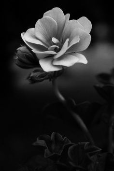 .flower in black and white