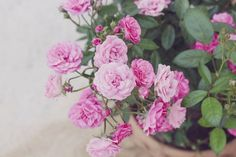 Caring for Miniature Roses..put outside in spring/summer to give enough sunlight to keep them blooming!
