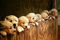 Row of golden retriever puppies. Best dog breed ever